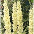 Verbascum chaixii 'Gainsborough'