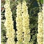 Verbascum chaixii Gainsborough 'Mullein'