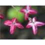 Barrenwort 'Epimedium x rubrum'