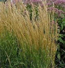 Calamagrostis x acutifora 'Karl Foerster'