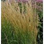 Calamagrostis x acutifora Karl Foerster 'Feather Reed Grass'