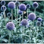 Echinops ritro Veitchs Blue &#x27;Globe Thistle&#x27;