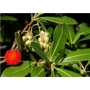 Strawberry tree 'Arbutus unedo'