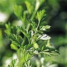 Parsley Plain Leaved 2 Seed