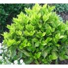 Aucuba japonica 'Rozannie'