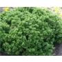 Berberis buxifolia
