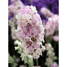 Lavandula angustifolia 'Hidcote Pink'