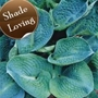 Hosta Big Daddy 'Plantain lily'