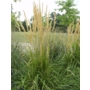 Calamagrostis x acutiflora Overdam 'Striped feather reed'