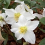 Helleborus niger &#x27;Christmas rose&#x27;