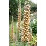 Digitalis Ferruginea Gigantea &#x27;Foxglove&#x27;