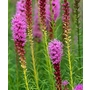 Liatris spicata &#x27;Gay Feather&#x27;