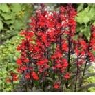 Lobelia cardinalis 'Queen Victoria'