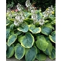 Hosta &#x27;Frances Williams&#x27;