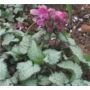 Lamium maculatum &#x27;Beacon Silver&#x27;