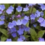 Omphalodes cappadocica &#x27;Cherry Ingram&#x27;