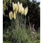 Cortaderia selloana &#x27;Pumila&#x27;