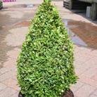 Buxus sempervirens - Cone 50-60cm