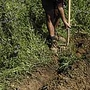 Organic Green Manure Phacelia Balo Seeds
