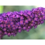 Buddleja davidii Black Knight 'Butterfly Bush'