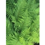 Dryopteris filix-mas 'Male Fern'