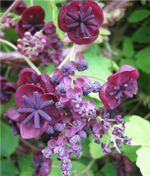 akebia quinata chocolate vine £ 10 99 from best 4 plants add to