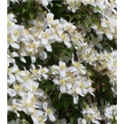 Clematis montana