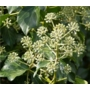 Hedera hibernica &#x27;Irish ivy&#x27;