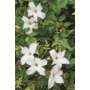 Jasminum officinale 'Common White Jasmine'