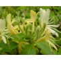 Lonicera japonica Halliana 'Japanese Honeysuckle'