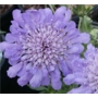 Scabiosa Butterfly Blue 'Small scabious'