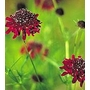 Scabiosa atropurpurea Chile Black 'Pincushion Flower'
