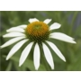 Echinacea purpurea White Swan &#x27;Coneflower&#x27;