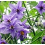 Solanum crispum Glasnevin 'Chilean Potato Tree'