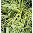 Carex morowii 'Fisher's Form'