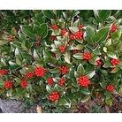 Skimmia japonica 'Nymans'