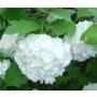 Viburnum opulus 'Roseum'