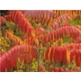 Rhus typhina 'Stag's horn sumach'