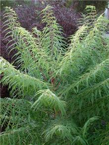 Rhus typhina 'Dissecta' (Laciniata)