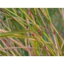Panicum virgatum Warrior 'Switch Grass'