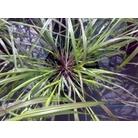 Pennisetum alopecuroides