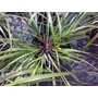 Pennisetum alopecuroides  &#x27;Fountain grass&#x27;