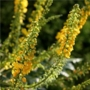 Mahonia media Charity &#x27;Mahonia&#x27;
