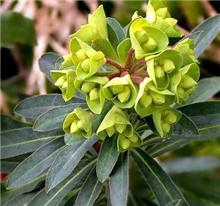 Euphorbia characias 'Humpty Dumpty'