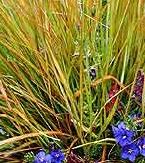 Stipa arundinacea (Anemanthele)