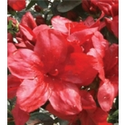 Azalea (Rhododendron) japonica 'Mother's Day'
