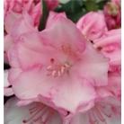 Rhododendron 'Dreamland'