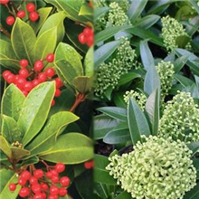 Skimmia Value Pack