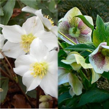 Helleborus Value Pack