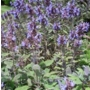 Salvia officinalis